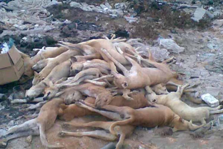برلمانية من «البيجيدي» توقف حملة ضد الكلاب الضالة بمراكش بدعوى أنها محرمة شرعا