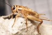 هل تكون الحشرات هي مستقبل التغذية لدى الإنسان مكان اللحوم؟