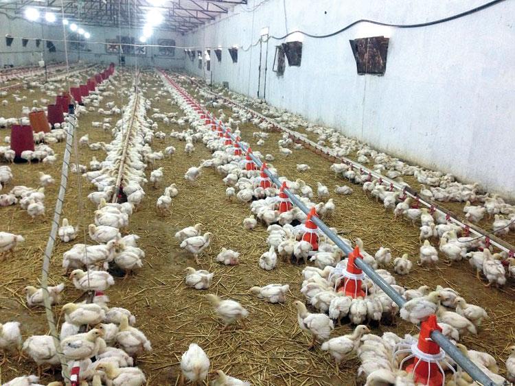 أنفلونزا الطيور يستنفر مصالح مكتب السلامة الصحية ونقل الدجاج سيتم بتنسيق مع الدرك