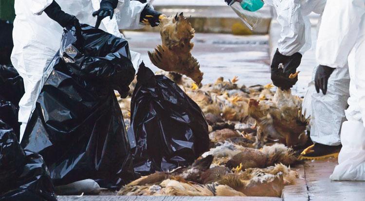 كل ما يجب أن يعرفه المغاربة حول مرض الدجاج