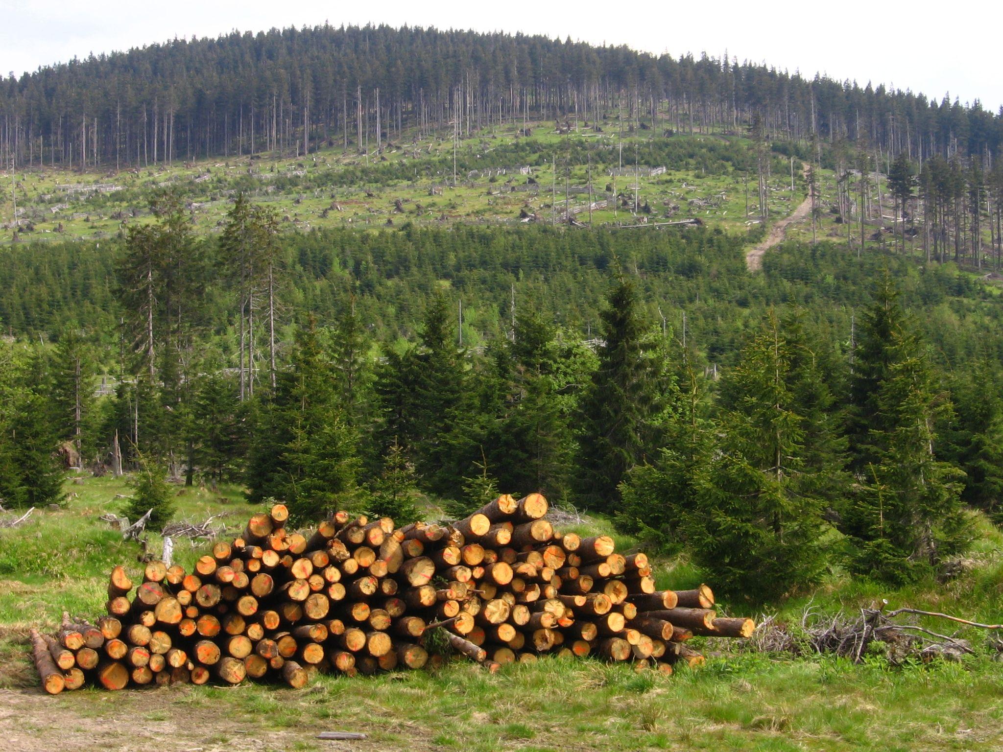 كارثة بيئية بمندوبية الحافي ..قطع 22 هكتارا من غابات الصنوبر بآسفي