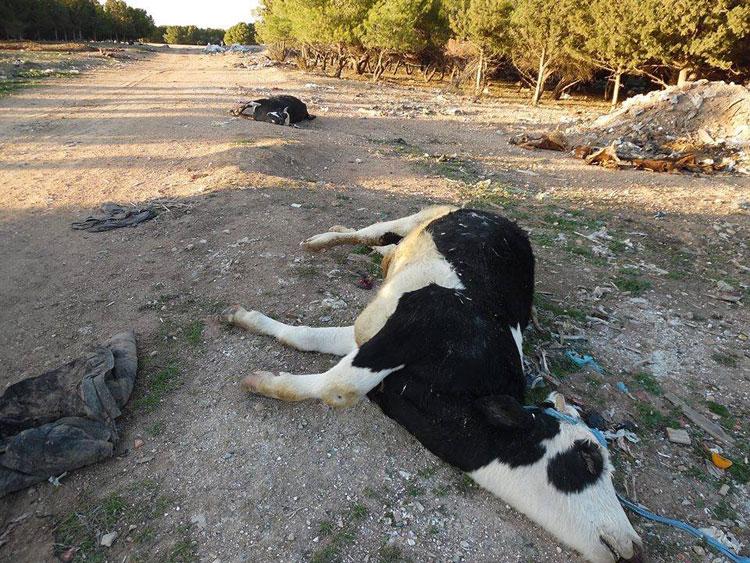 نفوق عدد من الأبقار بضيعة ببرشيد يستنفر الدرك والمصالح البيطرية