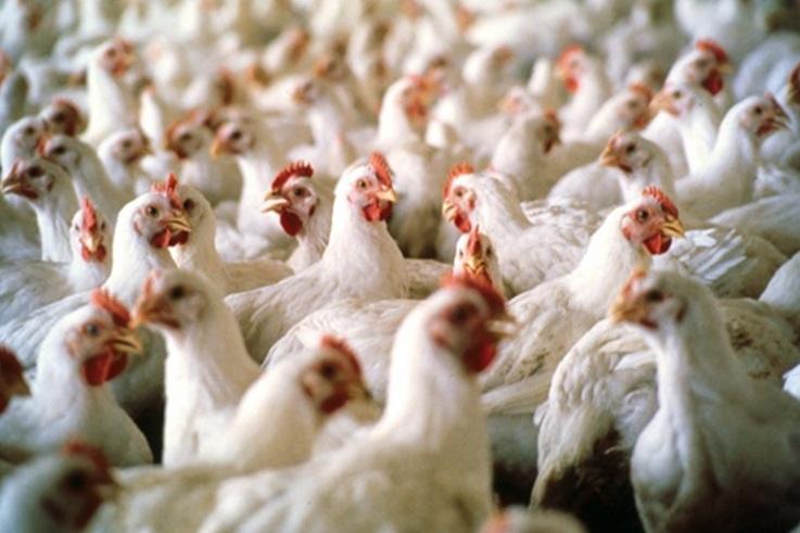 انطلاق الجولة الثانية لمحاكمة المتهمين في ملف الدجاج الفاسد بالعرائش