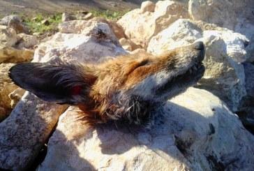 ثعالب تهاجم قرى بآسفي وحشرات وباء الصبار تنتقل إلى حقول الفلاحين