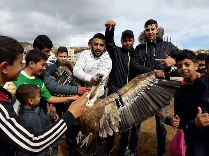 شبان بالفنيدق يعذبون نسرا ملكيا أياما بعد إطلاقه من طرف مندوبية الغابات