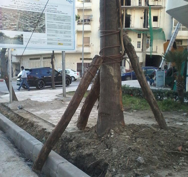 صورة وسائل بدائية لتثبيت النخيل بشوارع طنجة تثير سخرية المواطنين