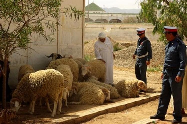 تفكيك عصابة «فراقشية» سرقت مئات من رؤوس الماشية بالخميسات والصخيرات