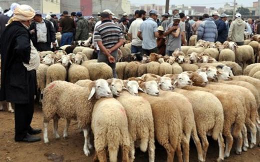 صورة بمناسبة عيد الأضحى.. وزارة الفلاحة تتوعد الغشاشين في تسمين الماشية بهذه الإجراءات
