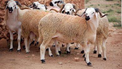 صورة عيد الأضحى.. العرض من القطيع يتجاوز الطلب ورقم المعاملات يبلغ 12 مليار درهم