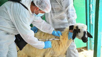صورة «أونسا» يطلق حملة تلقيح وقائية ضد أهم الأمراض الحيوانية المعدية