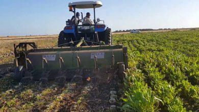 صورة النتائج الأولية للزراعات السكرية «جد مشجعة» بمردودية 70 طنا للهكتار