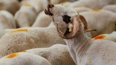 صورة أونسا رقّم أزيد من 8,2 مليون رأس من المواشي وفحص 4400 سقيطة خلال أيام عيد الأضحى
